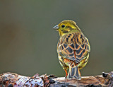 Yellowhammer by biffobear, photography->birds gallery