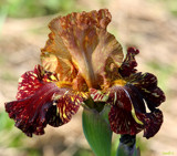 Iris Garden Lovely #2 by tigger3, photography->flowers gallery