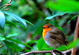 Robin by braces, Photography->Birds gallery