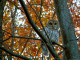 Barred Owl by xentrik, photography->birds gallery