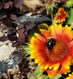 Mexican Blanket, Bayberry, and Bee by Pistos, photography->flowers gallery