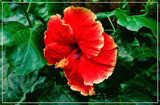 F² Hibiscus by corngrowth, photography->flowers gallery