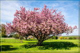 F² Prunus Serrulata by corngrowth, photography->flowers gallery
