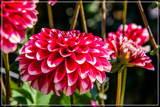 Dahlia Show 66 by corngrowth, photography->flowers gallery