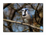 Blue Jay by gerryp, Photography->Birds gallery