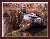 Mallard 1 by gerryp, Photography->Birds gallery