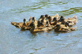 Un-synchronised  Swimming by kidder, Photography->Birds gallery