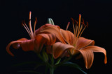 Orange Lilium 2 by elektronist, photography->flowers gallery
