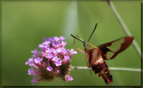 The Hummingbird Moth (Clear Wing) #2 by tigger3, photography->butterflies gallery