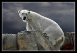 Polar Express 2 by Jimbobedsel, Photography->Animals gallery