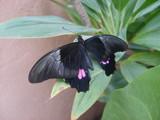 black butterfly by elianalara, photography->butterflies gallery