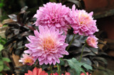 Pink Dahlias by prashanth, Photography->Flowers gallery