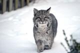 """Meet Robert Cat, the Bobcat"" by icedancer, photography->animals gallery"