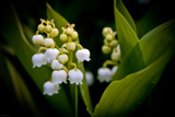 Lily Of The Valley by LynEve, photography->flowers gallery