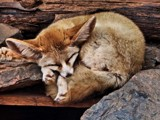 Bat Eared Fox by Dunstickin, photography->animals gallery