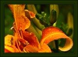 Lily #2 by LynEve, photography->flowers gallery
