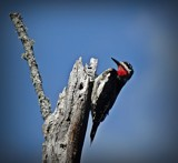Woodpecker by picardroe, photography->birds gallery