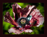 purple paper poppy by JQ, Photography->Flowers gallery