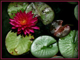 Raspberry Lily by trixxie17, photography->flowers gallery