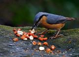 Nutty 1 by biffobear, photography->birds gallery