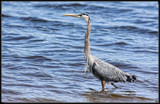 The Blue Heron by tigger3, photography->birds gallery