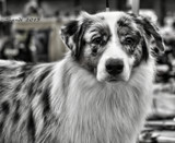 Dog Show Contender in B&W by tigger3, contests->b/w challenge gallery