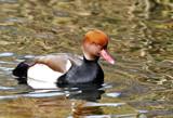 On Golden pond... by biffobear, photography->birds gallery