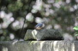 Eurasian Nuthatch by Blackhare, photography->birds gallery
