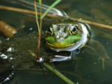 Kermit.. by gerryp, Photography->Reptiles/amphibians gallery