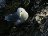Kittiwake by pom1, Photography->Birds gallery
