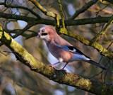 Jay.... by biffobear, photography->birds gallery