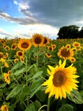 Lots of Sunshine by Starglow, photography->flowers gallery