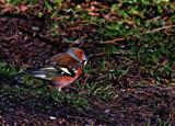 Chaffy by biffobear, photography->birds gallery