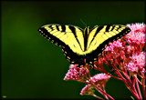 The Eastern Swallowtail _Defries Gardens by tigger3, photography->butterflies gallery