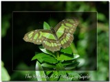 St. Patty's Day Suprise by traceyrn, Photography->Butterflies gallery