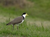 Spur Winged Plover. by trisbert, Photography->Birds gallery