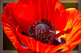 Poppy by corngrowth, photography->flowers gallery