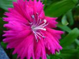 Little Pink Flower (Revised) by xXRyokoxBlachiXx, Photography->Flowers gallery