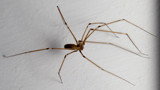 Pholcus phalangioides by coram9, photography->macro gallery