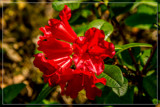 Foofy Friday Rhododendron 2 by corngrowth, photography->flowers gallery
