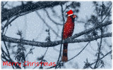 Cardinal Christmas by 0930_23, photography->manipulation gallery