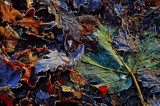 Frosted leaves by biffobear, photography->textures gallery