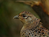 Mrs by biffobear, photography->birds gallery