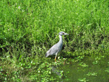 Great Blue Heron by bayoubooger, Photography->Birds gallery