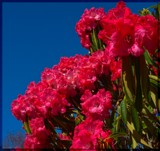 Rhododendron by LynEve, photography->flowers gallery