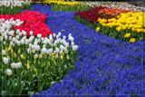 Keukenhof 02 by corngrowth, photography->flowers gallery