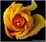 A Rose for Pat by Dunstickin, photography->flowers gallery
