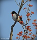 Rose-breasted grosbeak by GIGIBL, photography->birds gallery