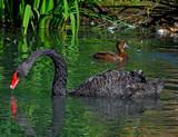The Black Swan by biffobear, photography->birds gallery