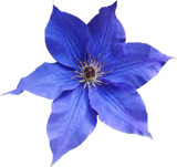 Blue Clematis by ccmerino, photography->flowers gallery